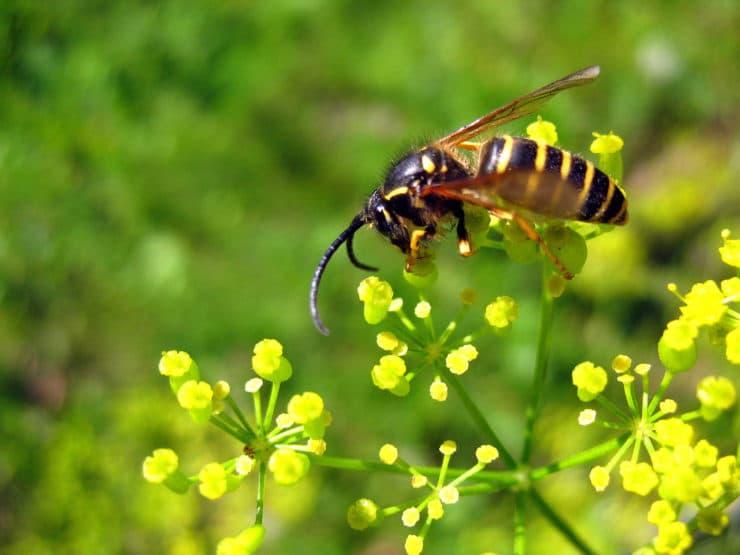 Оса насекомое. Образ жизни и среда обитания осы