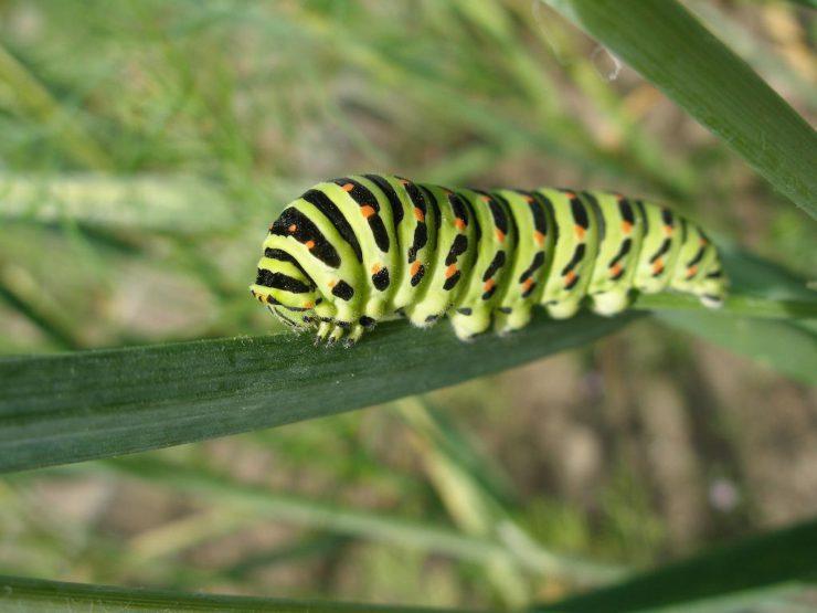 Почему бабочка насекомое