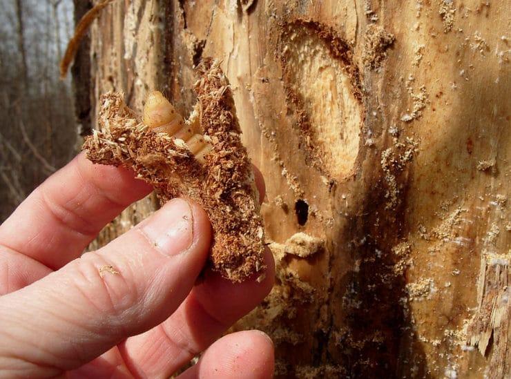 Жук короед - фото и описание насекомого