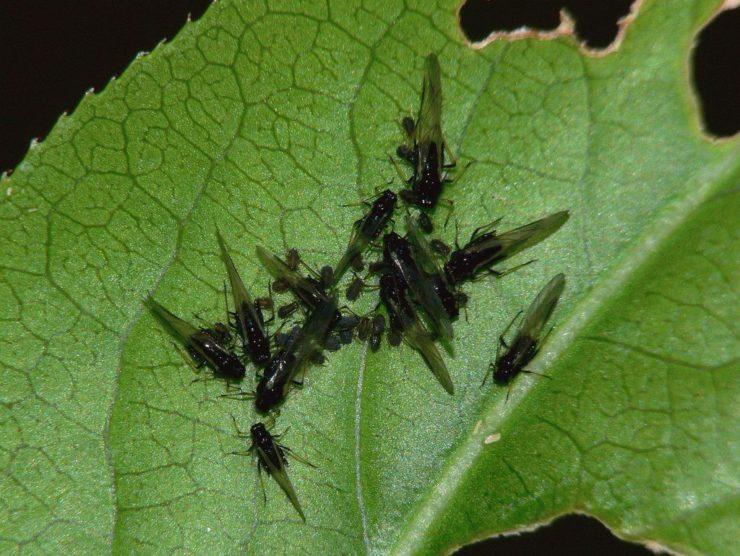 Как избавиться от мошек в цветочных горшках в домашних условиях инсектицидами, народными средствами?
