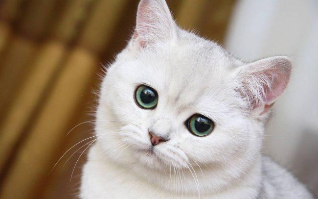 Ушной клещ (отодектоз) у кошек и котов: симптомы, фото, лечение котят и взрослых животных в домашних условиях каплями и другими средствами