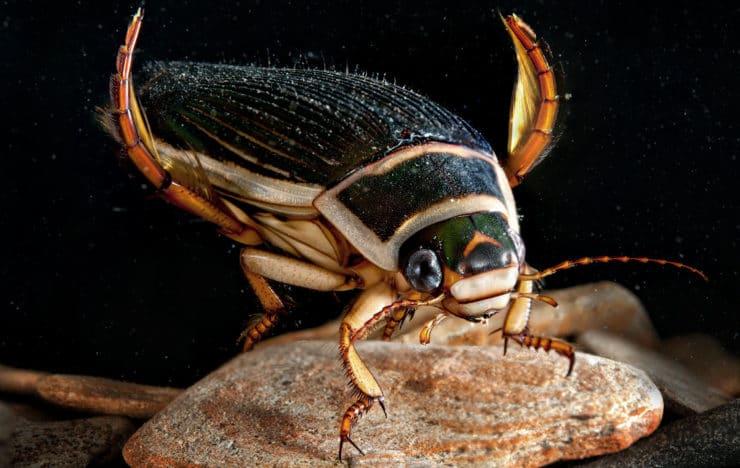 Жестокий и свирепый жук-плавунец