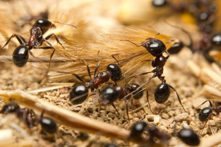 Чем питаются муравьи в природе, кто ест муравьев, особенности рациона