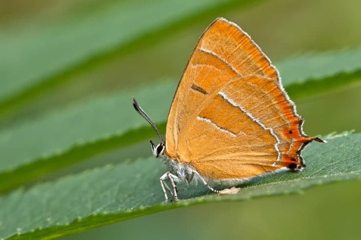 Как определить бабочку по гусенице