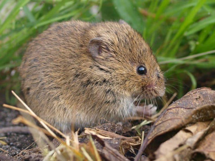 Как выглядит лесная мышь