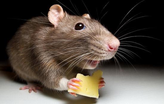 Мыши: описание и фото диких и декоративных представителей семейства мышиных, виды и породы этих животных