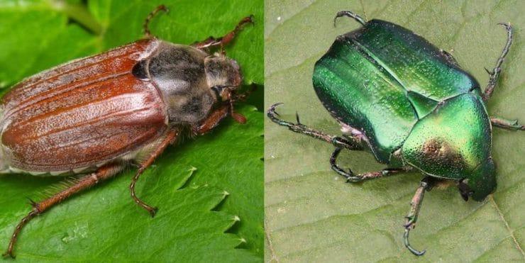 Бронзовка жук вредитель или нет
