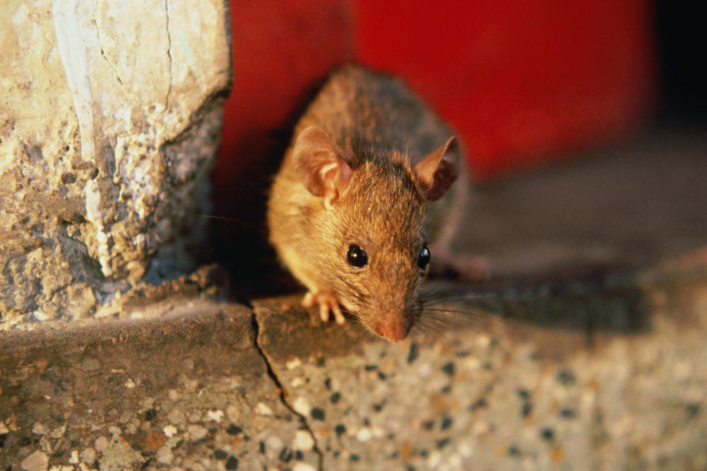 Как эффективно избавиться от мышей в квартире