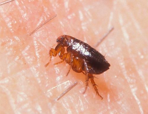 Подкожные паразиты у человека симптомы фото
