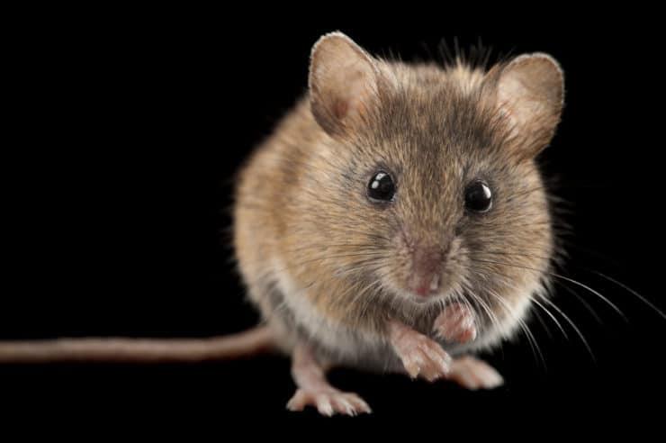 Чем вытравить мышей из дома