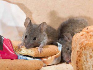 Как правильно травить мышей