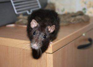 Как избавиться от грызунов в частном доме навсегда: эффективные народные и профессиональные средства против мышей и крыс