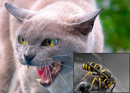 Что делать, если оса или пчела укусила кота. Кошку укусила пчела (оса) — что делать? Кошку укусила пчела что делать