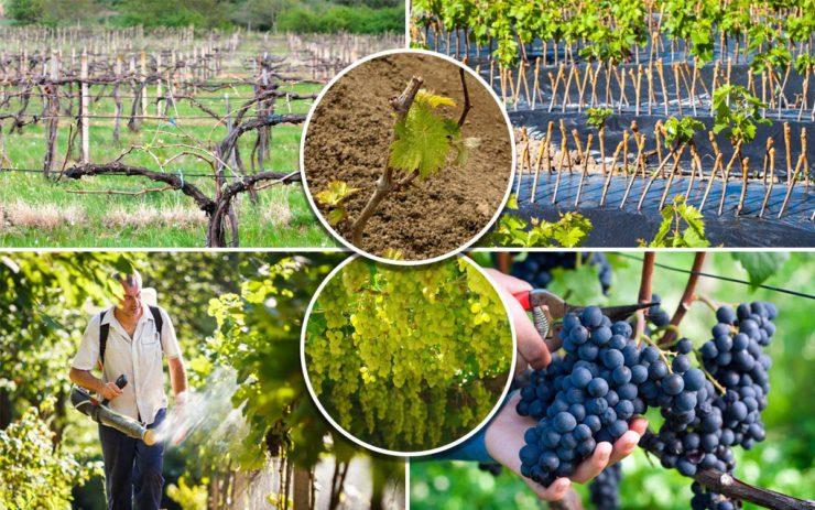 Обработка винограда от вредителей и болезней весной