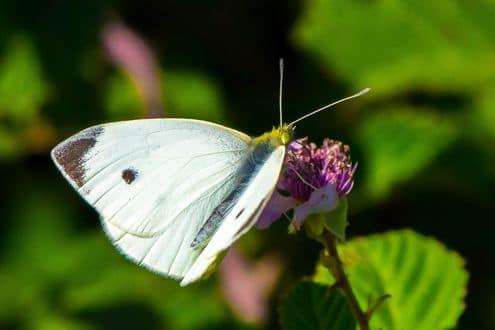 Бабочка Капустница - описание самой известной бабочки