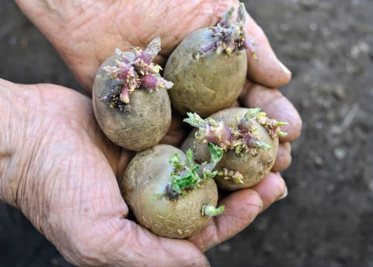 Чем обработать картофель перед посадкой от колорадского жука и как правильно