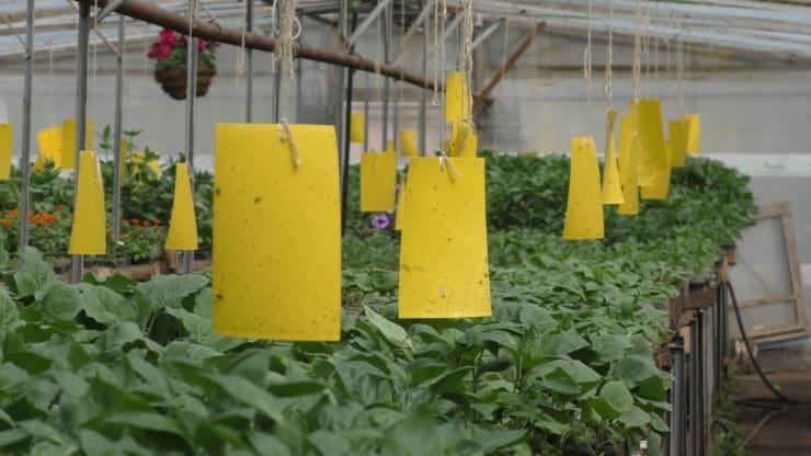 Белокрылка в огороде: методы борьбы и профилактика
