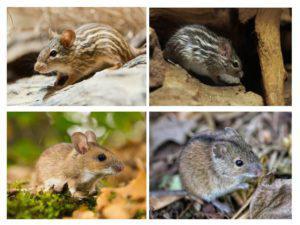 Мышь животное. Образ жизни и среда обитания мышей