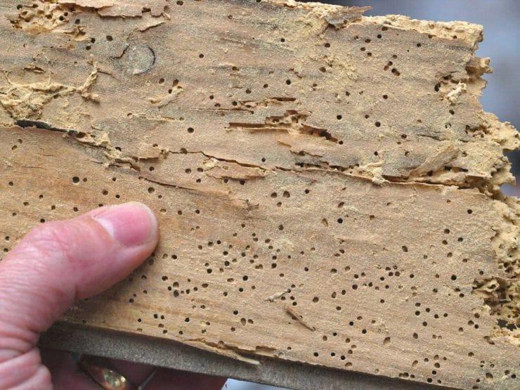 Как вывести короеда из дерева