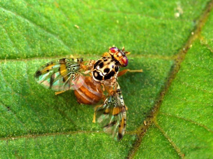 Откуда берутся и как избавится в квартире и дома от мухи дрозофила? Фото, описание, размножение и все самое важное.