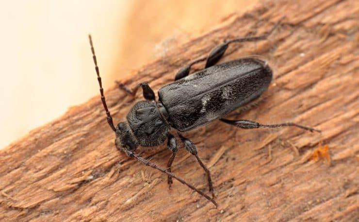 фото и название жуков древоточцев всегда есть